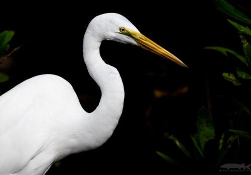 Great egret | Ägretthäger | Ardea alba