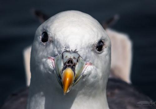 Northern fulmar | Stormfågel | Fulmarus glacialis