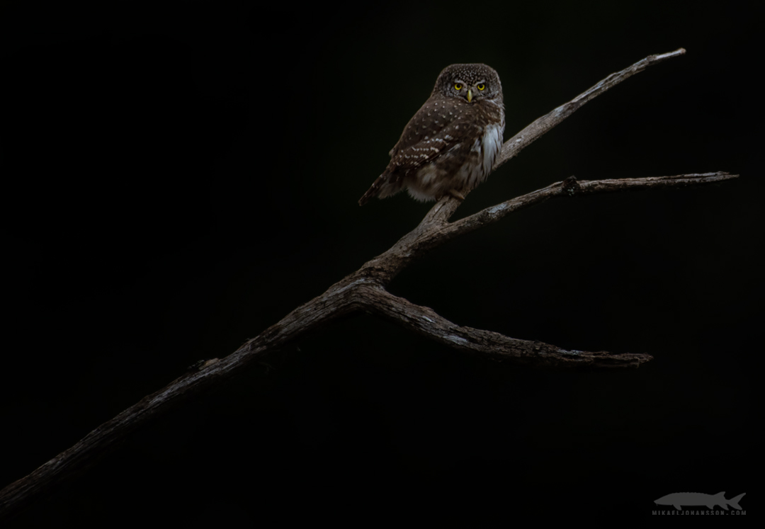 An evening with the Pygmy owls